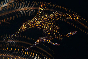 Ornate Ghost Pipefish pair, Tulamben by Doug Anderson 